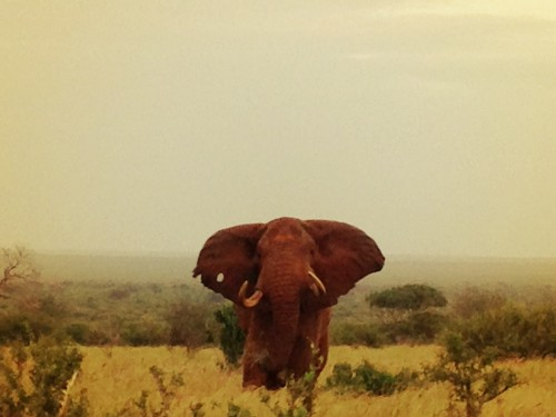 An elephant in Rukinga Sanctuary, Kenya